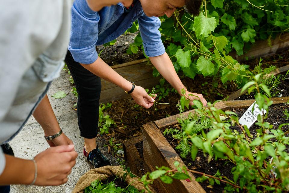 Gathering herbs from community garden in Villeray
