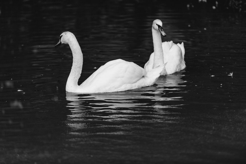 Two swans in a pond