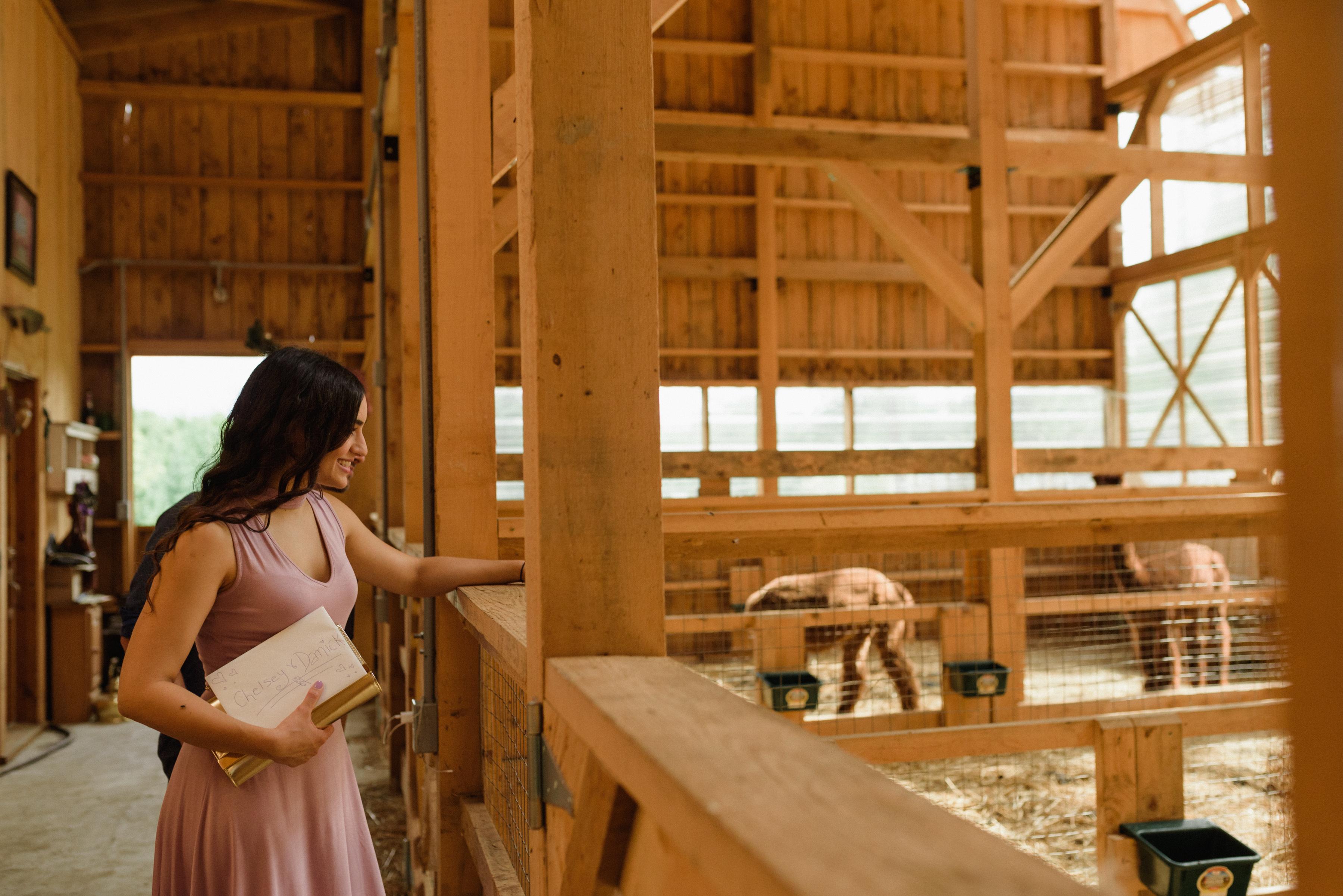 Wedding guest looking at alpacas in barn